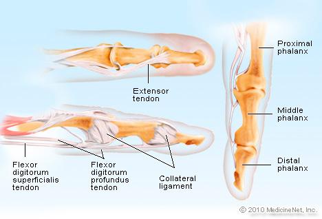 finger-anatomy