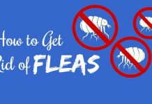 home remedies for fleas using natural remedies